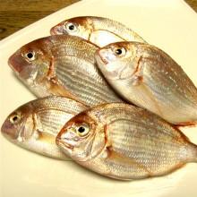 釣り(釣られ)たての血鯛